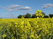 Rape Blossoms And Field