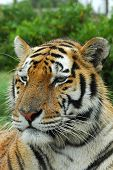 Retrato de cabeza de tigre