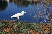 Un ibis blanco
