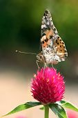 pic of argo  - butterfly on a pink flower in spring - JPG