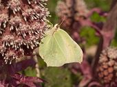 stock photo of butterbur  - Brimstone taken on Common Butterbur sucking nektar - JPG