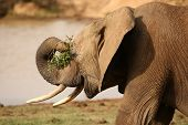 African Elephant With Leaves