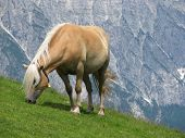 Haflinger horse eating grass
