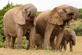 African Elephant Cows And Calves 1