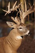 Monster Whitetail Buck