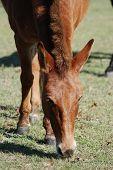 Red Mule Grazing