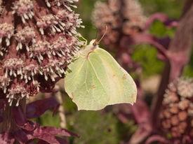 foto of butterbur  - Brimstone taken on Common Butterbur sucking nektar - JPG