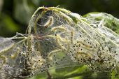 foto of cocoon tree  - Close up of web worms nearly ready to leave their sac in Spring