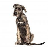 Irish Wolfhound dog, sitting, , isolated on white poster