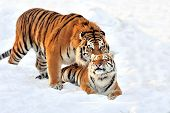 Tiger In Snow poster