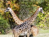 Crossed Giraffes