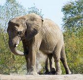 Dust Bath Elephant