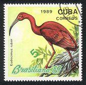 Bird - Scarlet Ibis