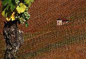 Vineyard And Vine