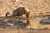 Cheetah cub drinking