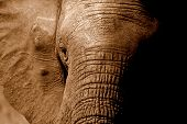 stock photo of elephant ear  - A close up sepia tone shot of an african elephant in south africa - JPG