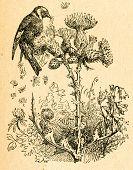 Goldfinch eating thistle seeds, old illustration by unknown artist from Botanika Szkolna na Klasy Nizsze, author Jozef Rostafinski, published by W.L. Anczyc, Krakow and Warsaw, 1911