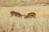 White Tailed Deer Bucks Fighting In Brown Fall Feild In The Rut poster