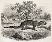 Giant Otter Shrew old illustration (Potamogale velox). Created by Freeman, published on Magasin Pittoresque, Paris, 1882