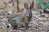 Furry Cotton Tail Bunny Rabbit Pauses To Take A Look While Crossing The Hiking Trail. poster