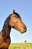 Profil anzeigen: inländische Pferd