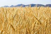 golden grass wheat field