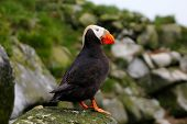 The Tufted Puffin (side view)