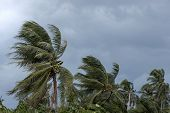 Beginning Of Tornado Or Hurricane Winding And Blowing Coconut Palms Tree With Dark Storm Clouds. Rai poster