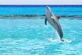 foto of playa del carmen  - Dolphin jumping in the Caribbean Sea of Mexico - JPG
