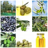 a collage of nine pictures of different scenes of olive harvesting and products