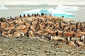 Gentoo Penguin Breeding Colony, Antarctica