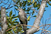 pic of mockingbird  - Northern Mockingbird Perched High in a Tree - JPG