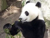 Panda Eats Regular Diet Of Bamboo Shoots