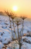 Wild Parsnip In Winter