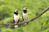 Black-collared Starling : Sturnus  Nigricollis
