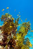 coral reef with great yellow fire coral and fishes at the bottom of tropical sea