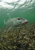 Bonefish