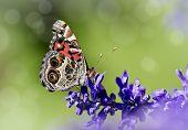 American Lady butterfly (Vanessa virginiensis) on Salvia