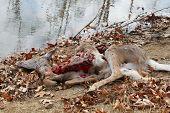Totes Reh, von Kojoten getötet