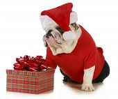 perro Santa - bulldog inglés vestido como santa sentado al lado de regalo de Navidad