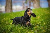 pic of seeing eye dog  - american cocker spaniel portrait in autumn - JPG