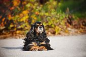 american cocker spaniel on autumn background