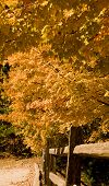 image of split rail fence  - A tree turning orange in the fall over an old split rail fence - JPG