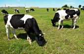White milch cow with black spots grazing on green grass pasture over blue sky
