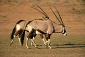 Gemsbok Antelopes