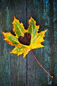 Fall In Love Photo Metaphor. Colorful Maple Leaf With Heart Shaped Hole Lays On Dark Wooden Table