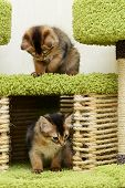 Cute Somali Kittens Indoor