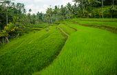 Jasmine rice terrace field, Bali