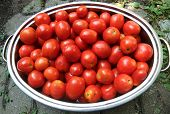 Pan Of Roma Tomatoes