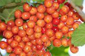 Viburnum berries ripen on the bush.